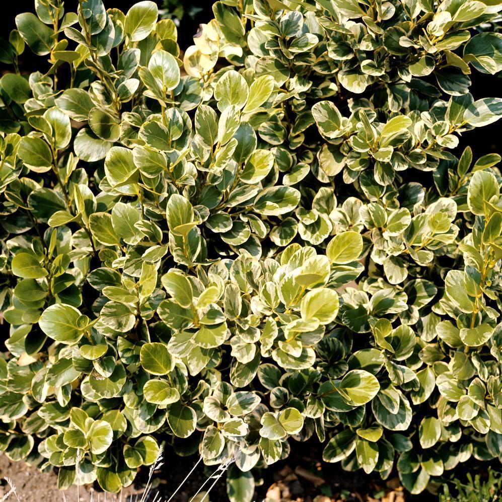Griselinia littoralis 'Variegata'