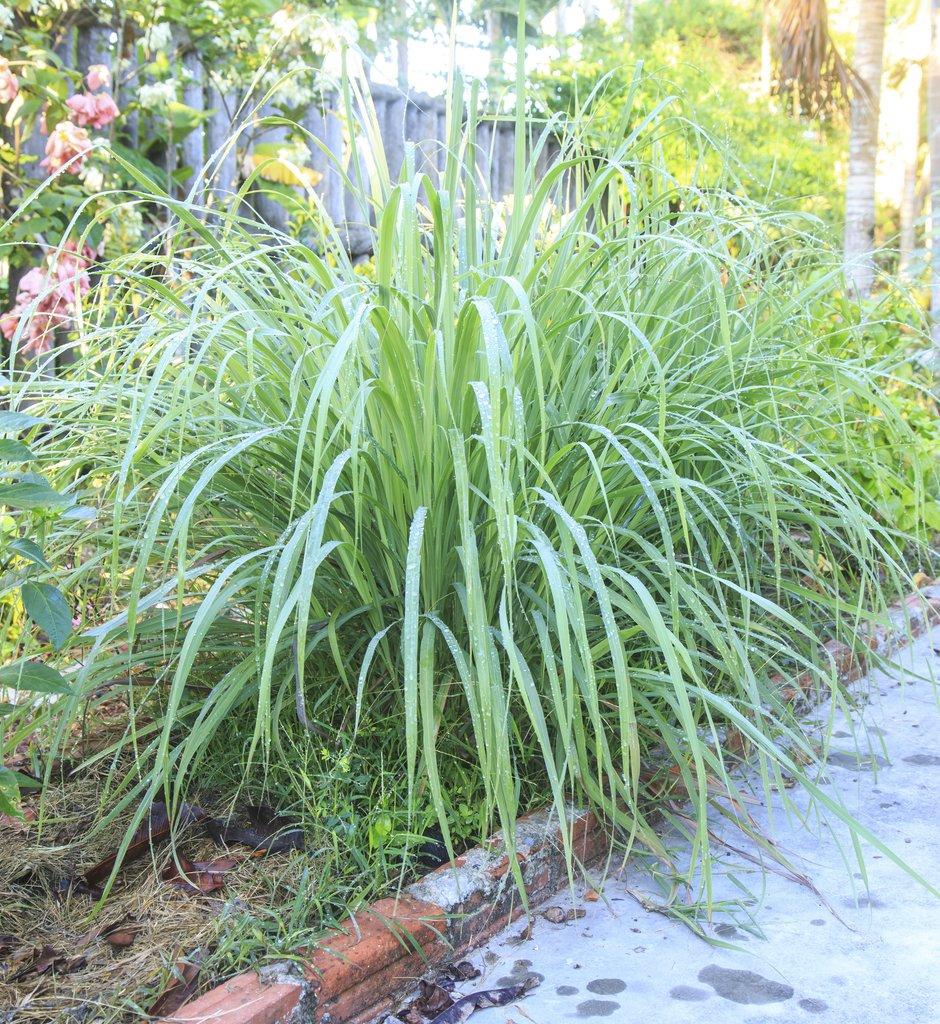 Plante Haute En Pot citronnelle : planter et cultiver – ooreka