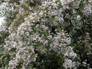 Semis et plantation du buddleia