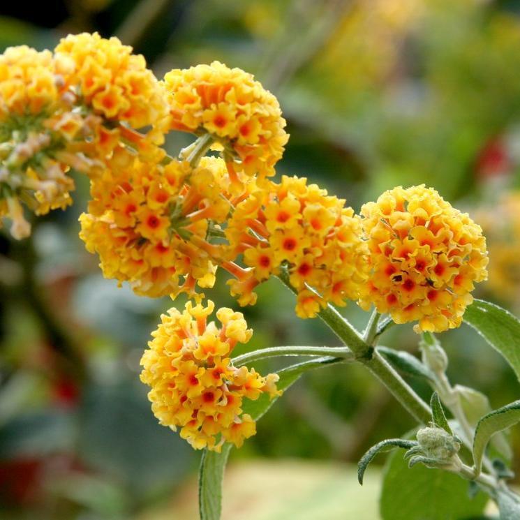 Espèce et variétés à floraison estivale petites tailles Buddleia jaune (Buddleja x weyeriana 'Sungold')