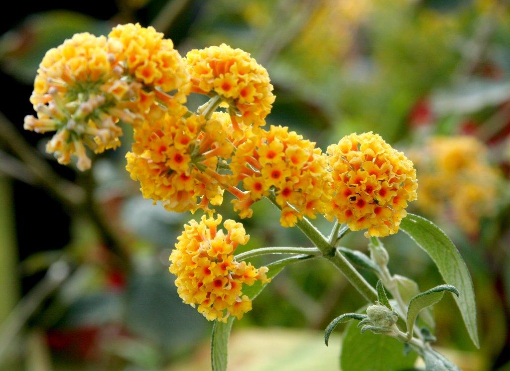Buddleia planter et tailler ooreka for Fushia plante interieur ou exterieur