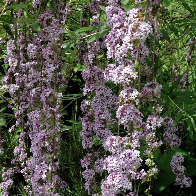 Espèce à floraison précoce Buddleia à feuilles alternes (Buddleja alternifolia)