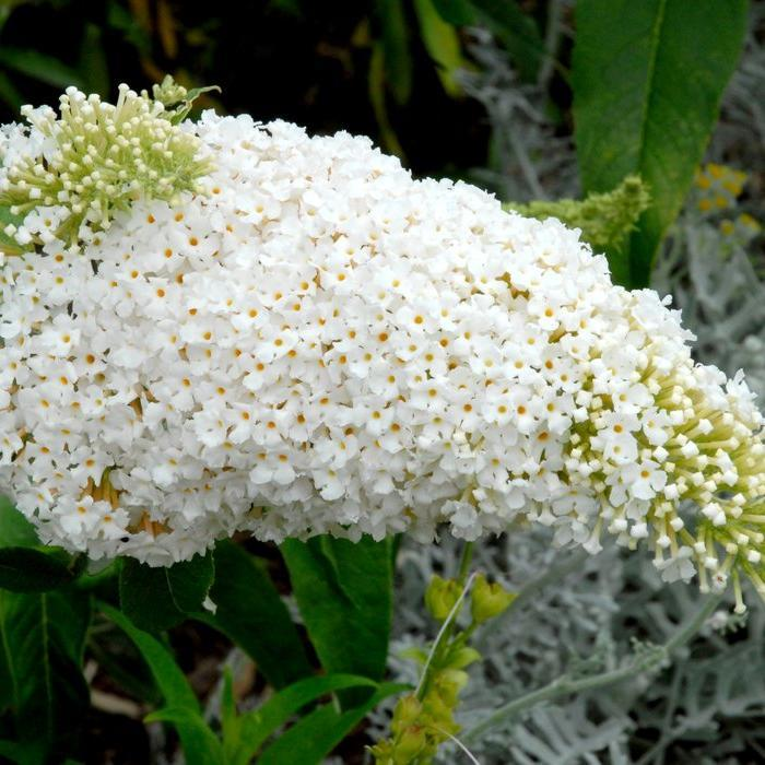 Espèce et variétés à floraison estivale petites tailles Buddleia blanc (Buddleja davidii 'White Profusion')
