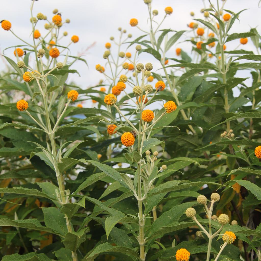 Espèces à floraison estivale grandes tailles Buddleia globuleux (Buddleja globosa)