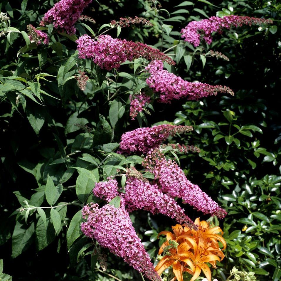 Espèce et variétés à floraison estivale petites tailles Buddleia rouge (Buddleja davidii 'Royal Red')