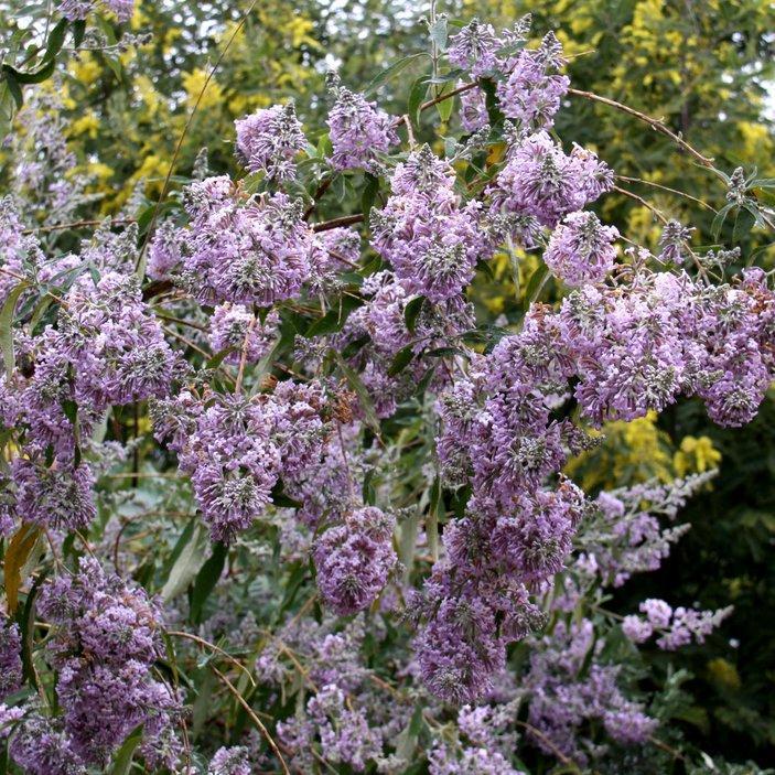 Espèces à floraison hivernale Buddleja officinalis