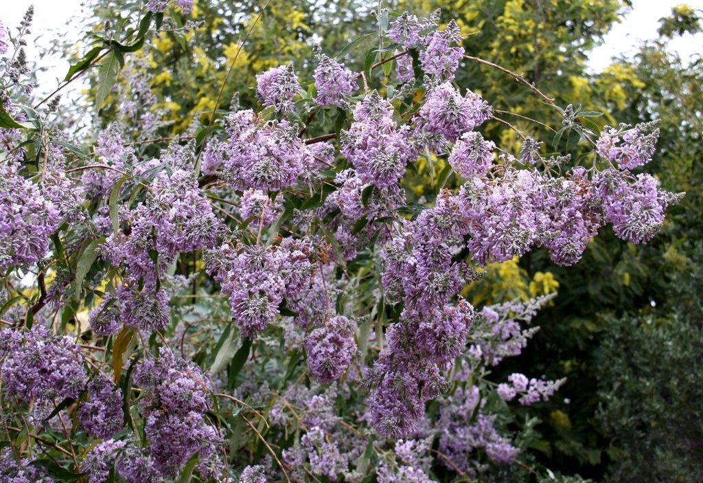 Buddleia planter et tailler ooreka for Floraison hiver