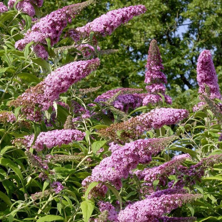 Espèce et variétés à floraison estivale petites tailles Buddlleia rose (Buddleja davidii 'Pink Delight')