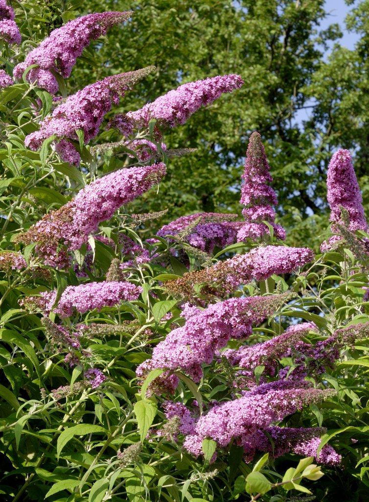 Buddleia planter et tailler ooreka for Plante ornementale