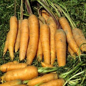 Culture et entretien de la carotte