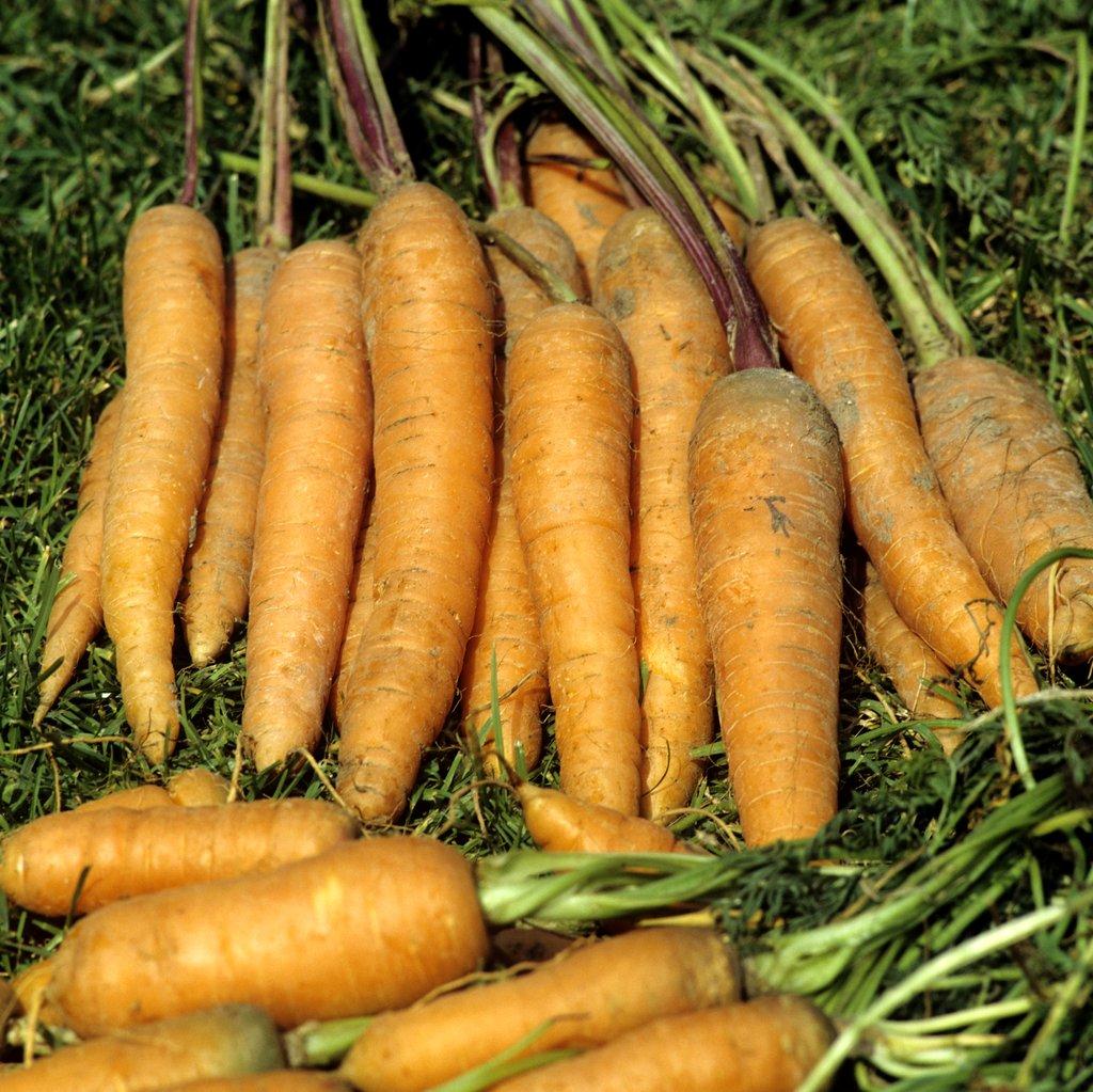 carotte semer