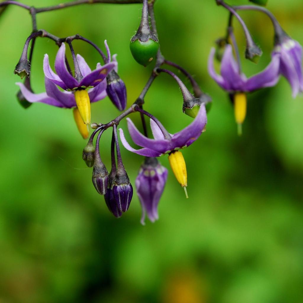 Douce-amère, morelle douce-amère (Solanum dulcamara) 'Variegata'
