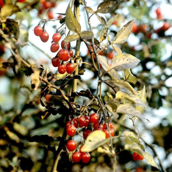Douce-amère, morelle douce-amère (Solanum dulcamara) Espèce type