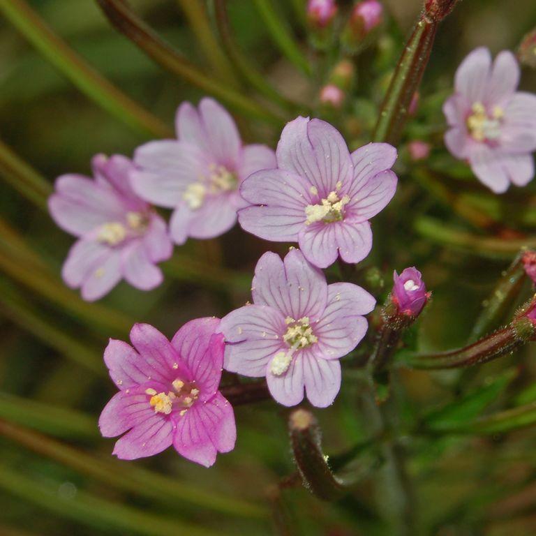 Épilobe à petites fleurs ou osier fleuri (Epilobium parviflorum) --