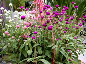 Semis et plantation de la gomphrena