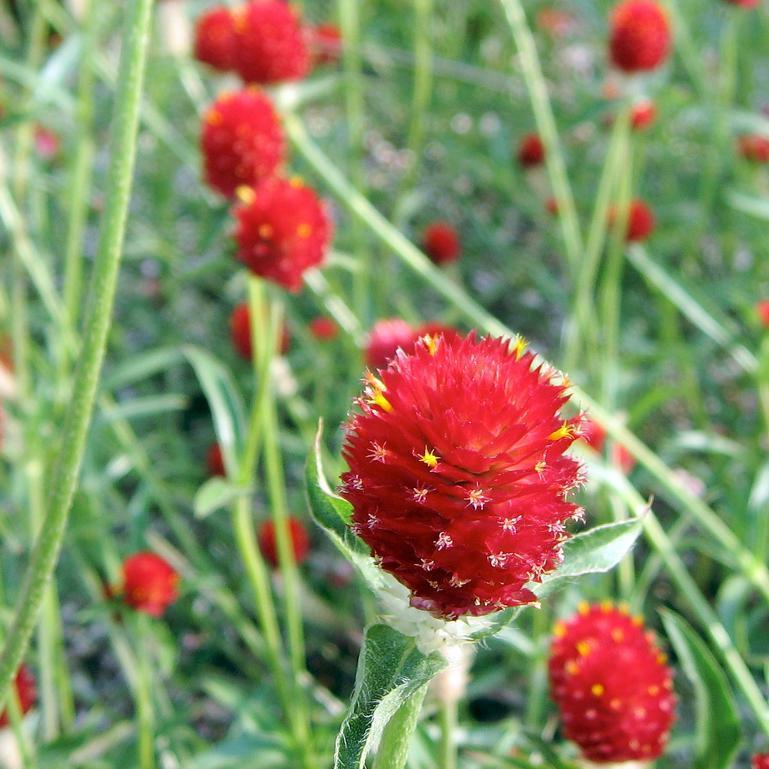Gomphrena globuleuse (Gomphrena globosa) 'Strawberry Fields'