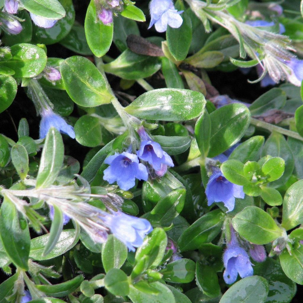 Lithodora oleifolia --