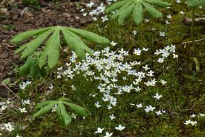 Culture et entretien d'un podophyllum