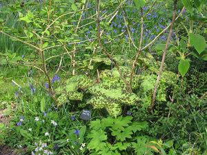 Semis et plantation d'un podophyllum