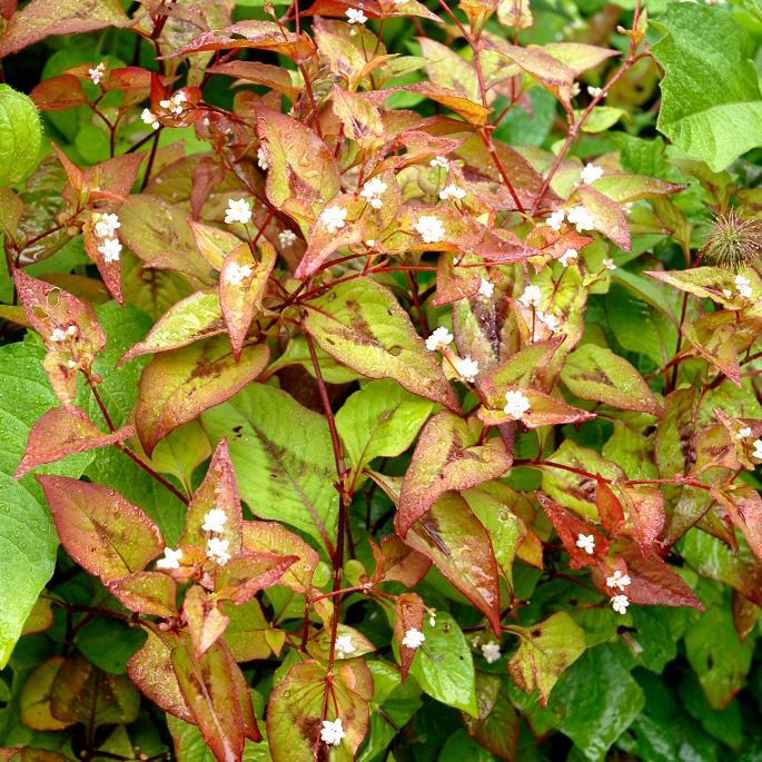 Espèces hautes Persicaria microcephala 'Red Dragon'