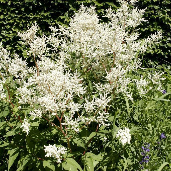 Espèces hautes Renouée à balais (Polygonum scoparium syn. P. equisetiformis)