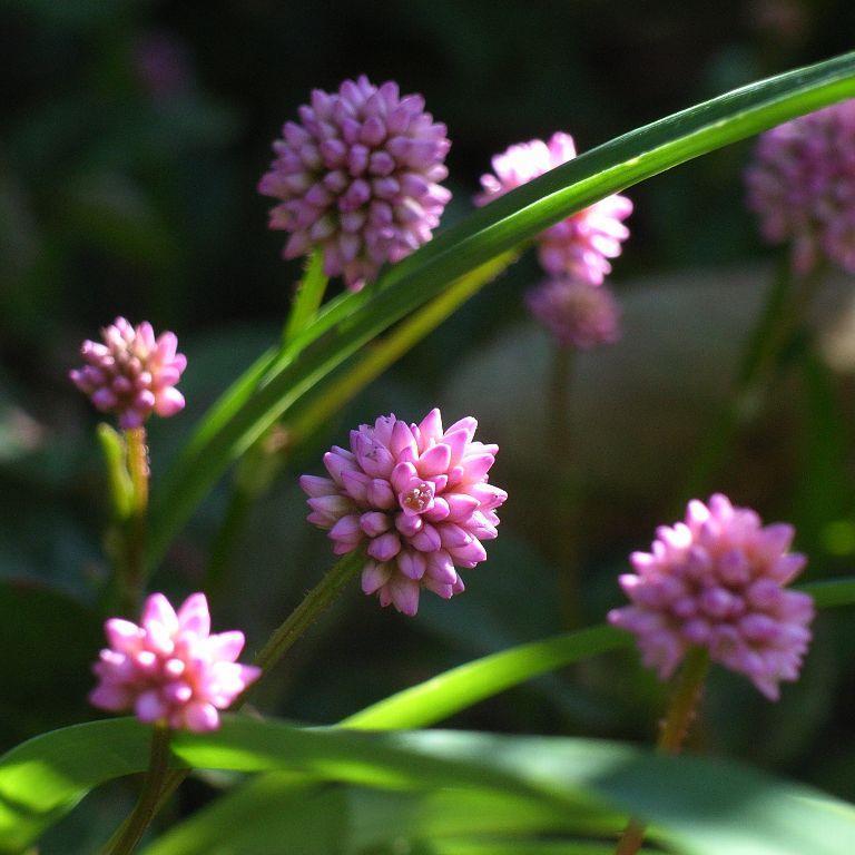 Espèces moyennes et basses Renouée rose (Persicaria capitata)