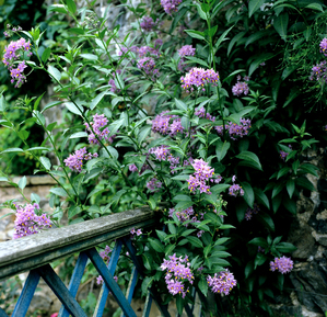 Semis et plantation du solanum jasminoides
