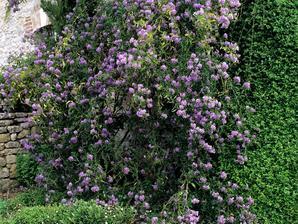 Culture et entretien du solanum jasminoides