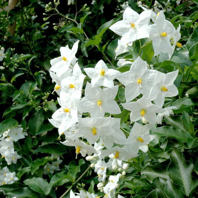 Solanum jasminoides (Solanum laxum) 'Album'