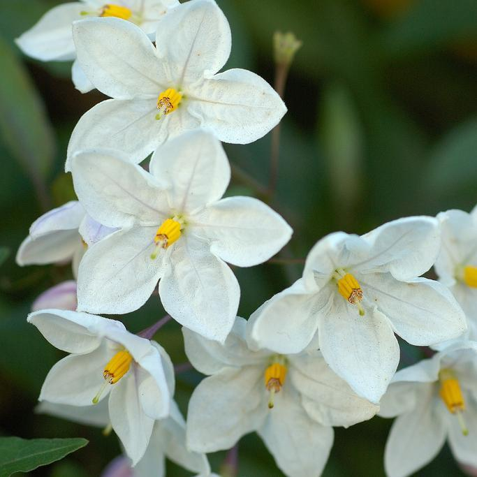 Solanum jasminoides (Solanum laxum) Espèce type