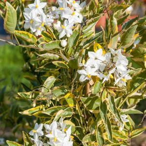 Solanum jasminoides (Solanum laxum) 'Album Variegatum'