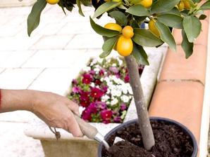 Plantation du kumquat