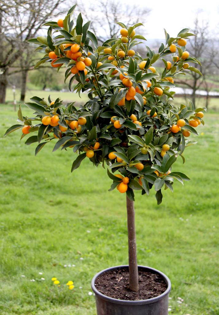 comment planter kumquat