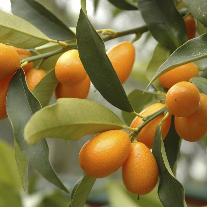 Kumquat long ou Nagami  (Fortunella margarita)