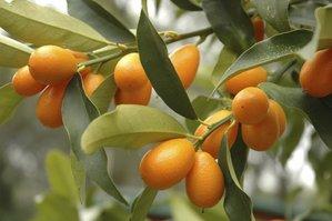 Multiplication du kumquat