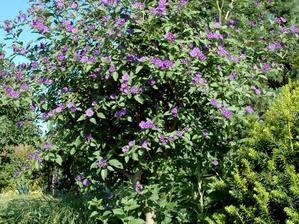 Multiplication du <em>Solanum rantonnetii</em>