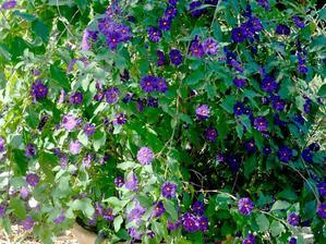 Plantation du <em>Solanum rantonnetii</em>