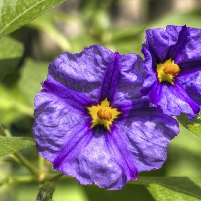 Solanum rantonnetii Espèce type