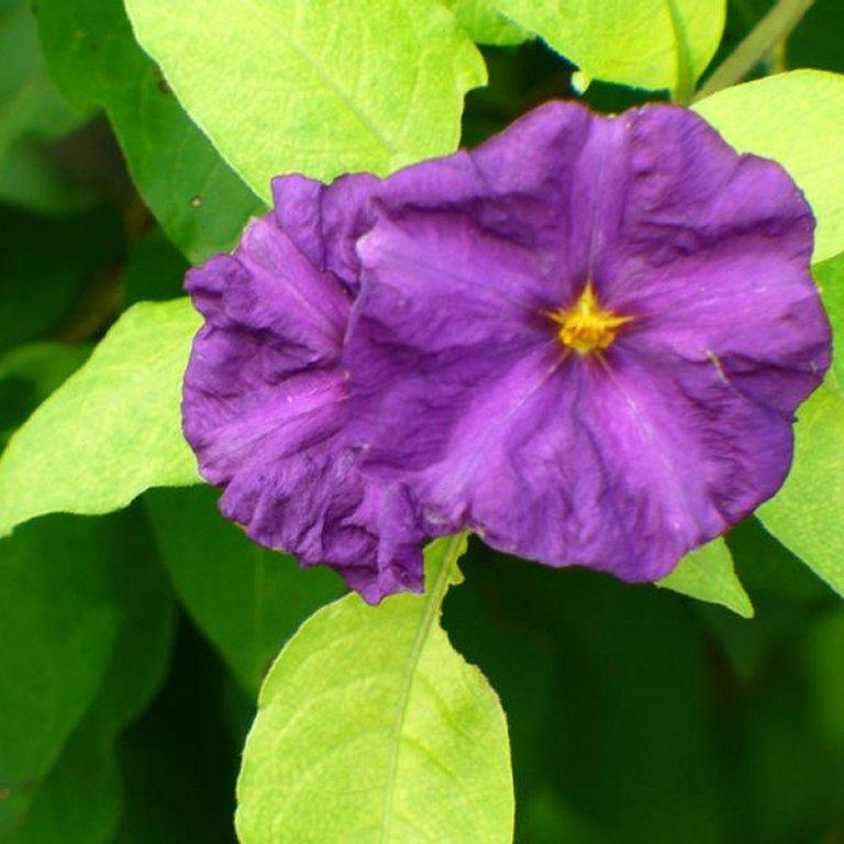 Solanum rantonnetii 'Royal Robe'