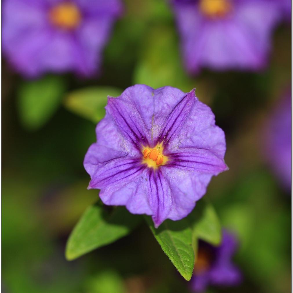 Solanum rantonnetii 'Outremer'