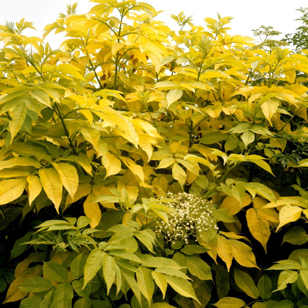 Sureau rouge planter et cultiver ooreka for Plante 7 folioles