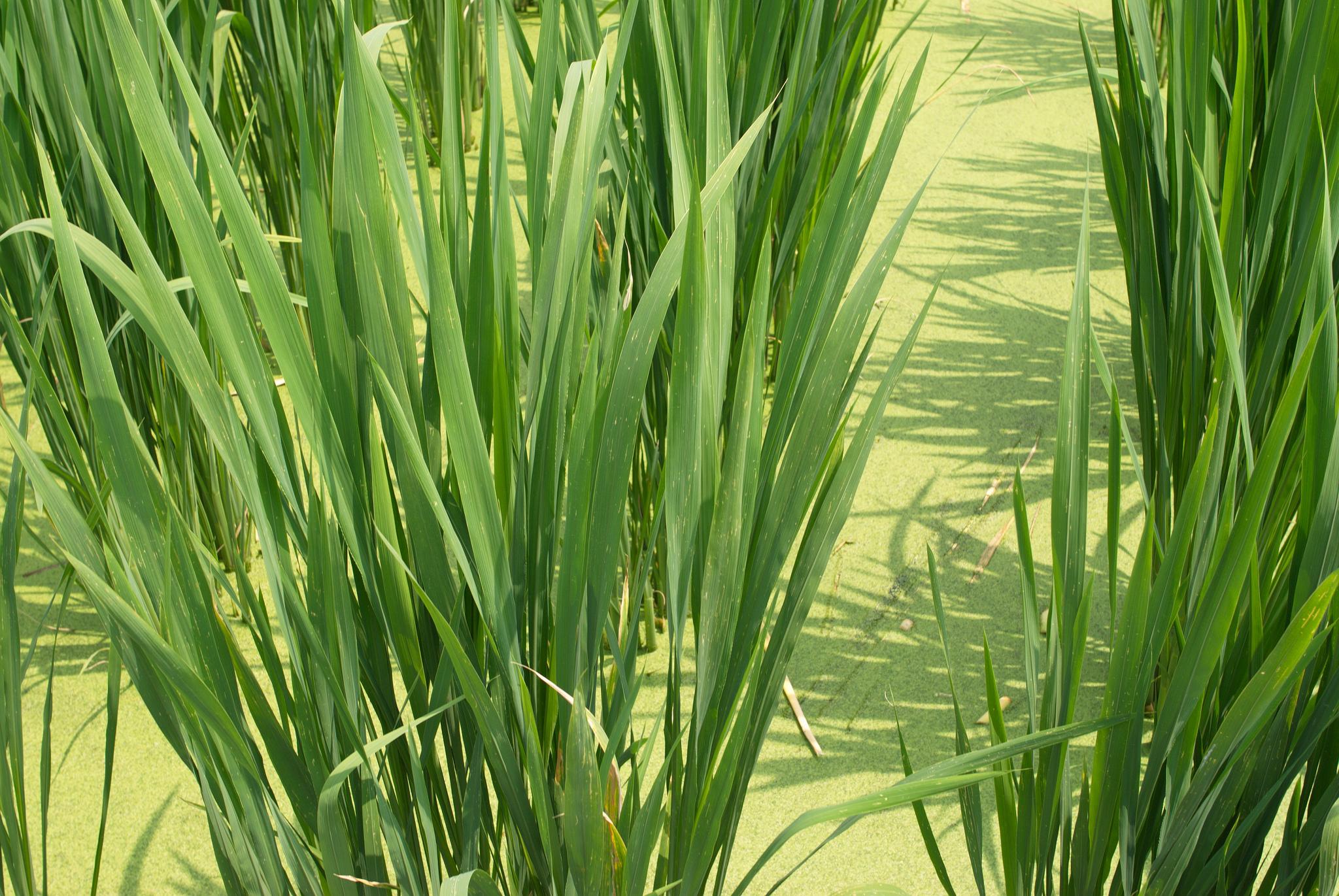 Riz sauvage planter et cultiver ooreka for Les plantes et le gel