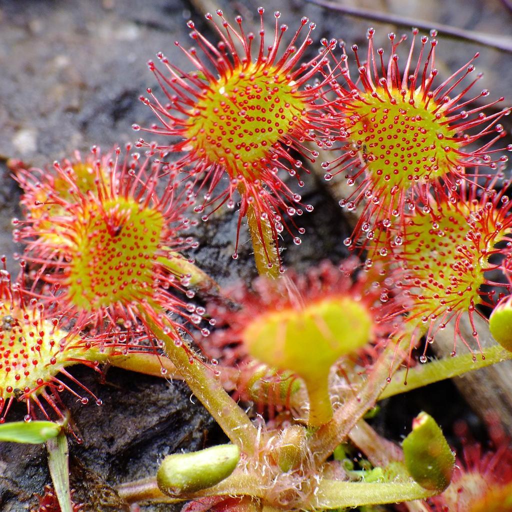 Vivaces rustiques Droséra à feuilles rondes, rossolis à feuilles rondes (Drosera rotundifolia)