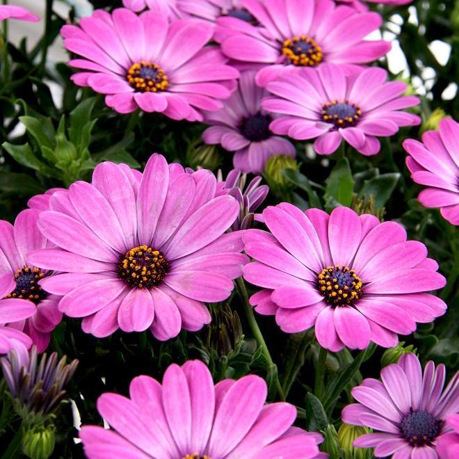 Variétés vivaces vendues en plants 'Flower Power Double'