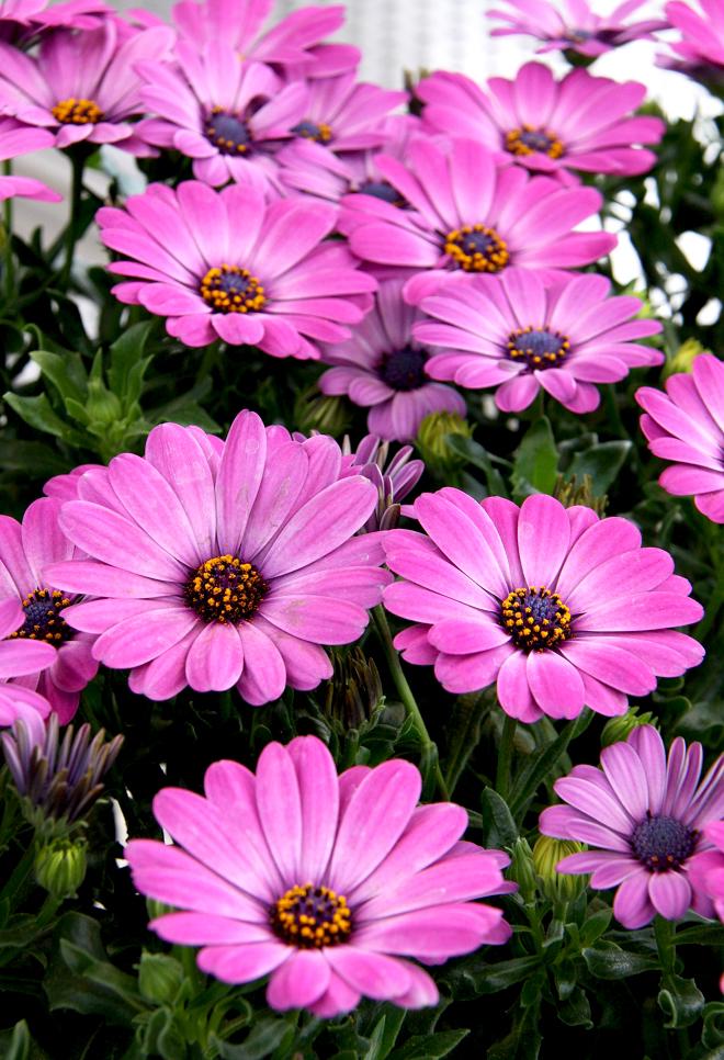 Osteospermum planter et cultiver ooreka for Fleurs jaunes jardin vivace