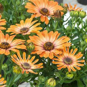 Variétés vivaces vendues en plants 'Astra Orange Sunrise'