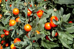 Semis et plantation du pommier d'amour