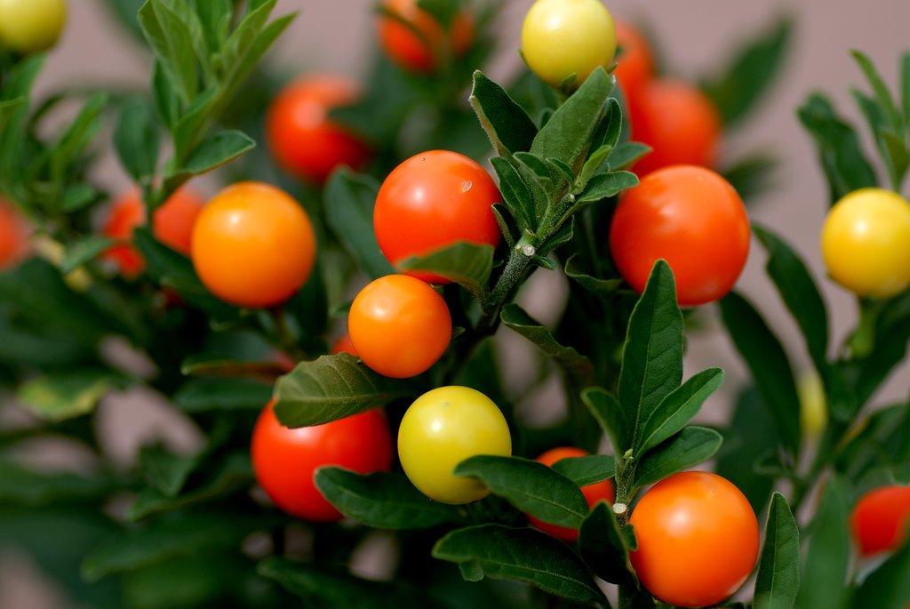 Pommier d amour planter et cultiver ooreka - Quand planter les oignons rouges ...