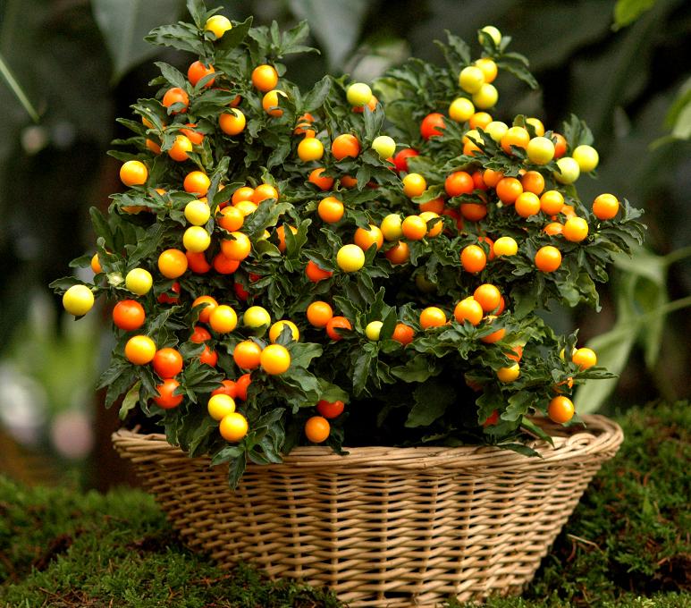 Pommier d amour planter et cultiver ooreka - Comment trouver le nom d une plante ...
