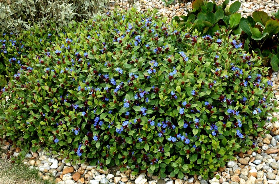 Ceratostigma planter et cultiver ooreka for Chaine de coeur plante entretien